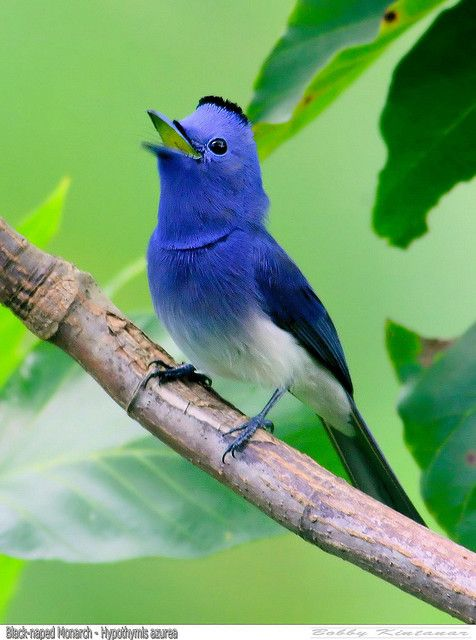 Black Naped Monarch by Grandpa@50 This it totally what I think of when I think of a blue bird