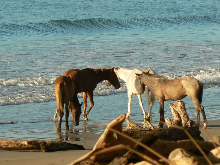 Wild Horses at Playa Guiones Nosara Guanacaste, Costa Rica