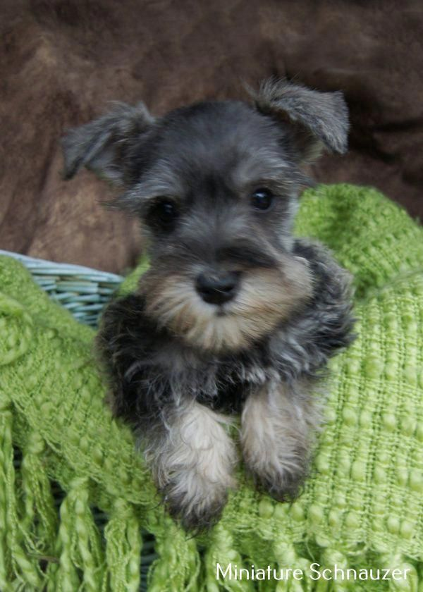 Exceptional Schnauzer Puppy Detail Is Available On Our Internet Site Read More And You Will Not Be Sorry You In 2020 Schnauzer Puppy Puppy Images Standard Schnauzer