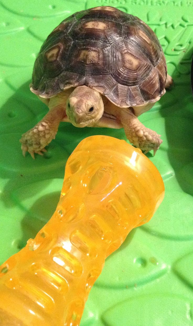 Article - Enrichment: Providing Mental Well-being For Your Tortoise