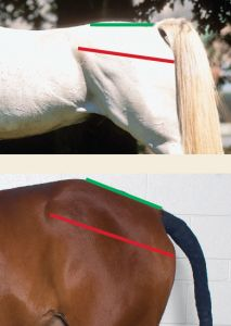 Interesting article about how pelvis conformation affects dressage performance