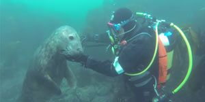 Diving With Friendly Seals
