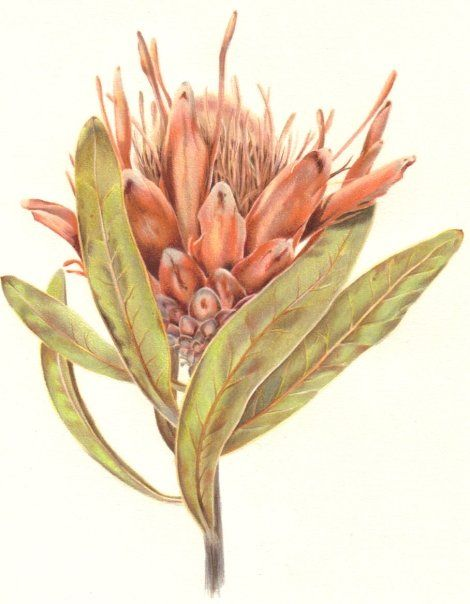 S J Humphrey. Protea, pencil crayon. For commissions and info: https://www.facebook.com/sarahjane.illustration