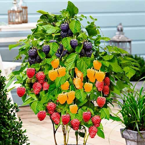 Krzewy owocowe  Borówki amerykańskie,jagoda kamczacka, borówka brusznica, maliny, agresty pienne i kolumnowe, porzeczki,jeżyny, porzeczko-agresty. W naszej ofercie posiadamy najlepsze i najsmaczniejsze gatunki tych krzewów. Wszystkie odmiany odporne są na mrozy .  Zamów krzewy już dziś a wyślemy do Ciebie paczkę z roślinami za pobraniem. W trosce o dobro klientów paczki wysyłamy po ustąpieniu przymrozków .