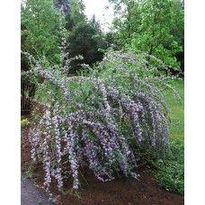 Budleja (Buddleja alternifolia)