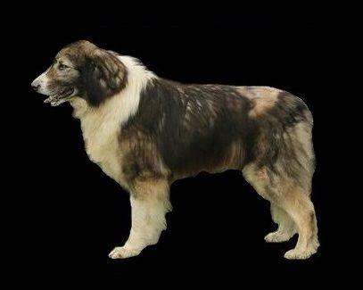 Romanian carpathian shepherd.Best of breed.