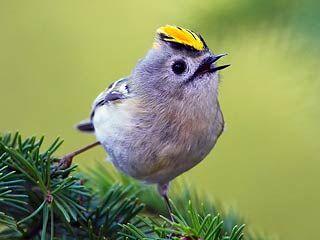Hippiäinen, Regulus regulus - Linnut - LuontoPortti