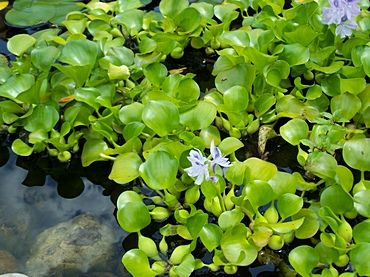 Floating Pond Plantsthese are h2o hyacinths. Beautiful, but illegal to own in TX, fyi