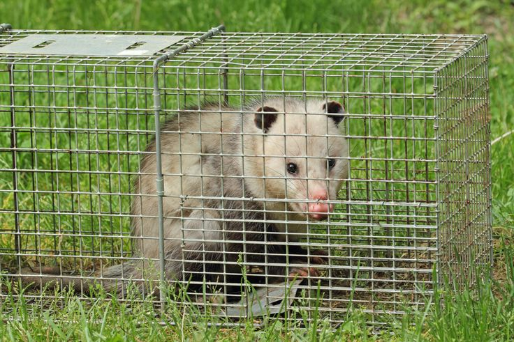 How to find a humane wildlife removal company animals