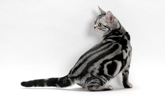types of american shorthair cats