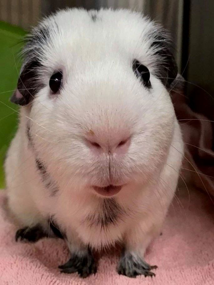 Pin On Pet Rabbits Guinea Pigs And Small Animals