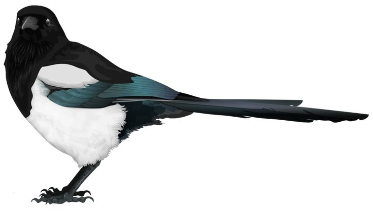 Magpie made in Illustrator by Kerstin Petersson