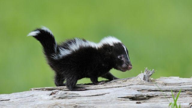Webmail :: Classic - Striped Skunk Kit, Minnesota