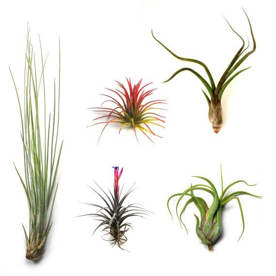 Packs Of 25 50 75 Or 100 Air Plants Wholesale The Yucatan