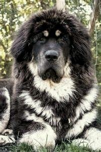 Tibetan Mastiff                                                                                                                                                                                 More