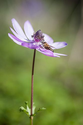 The joy of pollination. Honeybee (Apis mellifera) on Anemone (Anemone coronaria)