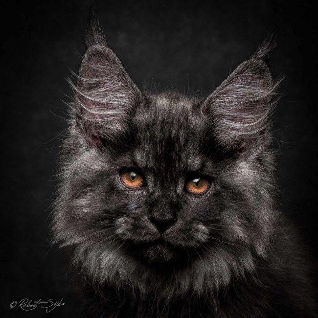Robert Sijka est un spécialiste de la photographie animalière et un grand passionné des chats en particulier des Maine Coon pour lesquels il a consacré une fascinante série de portraits.Mystiques portraits Qualifiée de 'Gentle Giants' en bon français Gentils Géants, l'une des plus belles espè