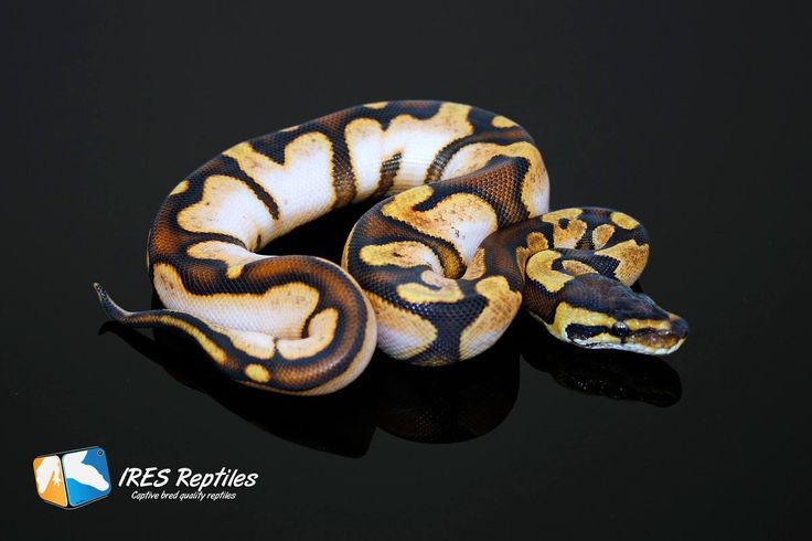Calico morph. They are very bright and lively in real life as well. One of the snakes Iris would really like to get.