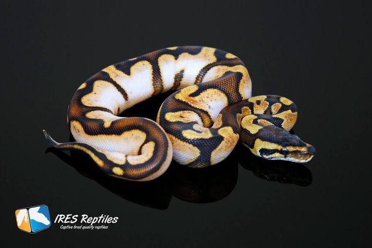 calico ball python. | Ball Python - 37.6KB