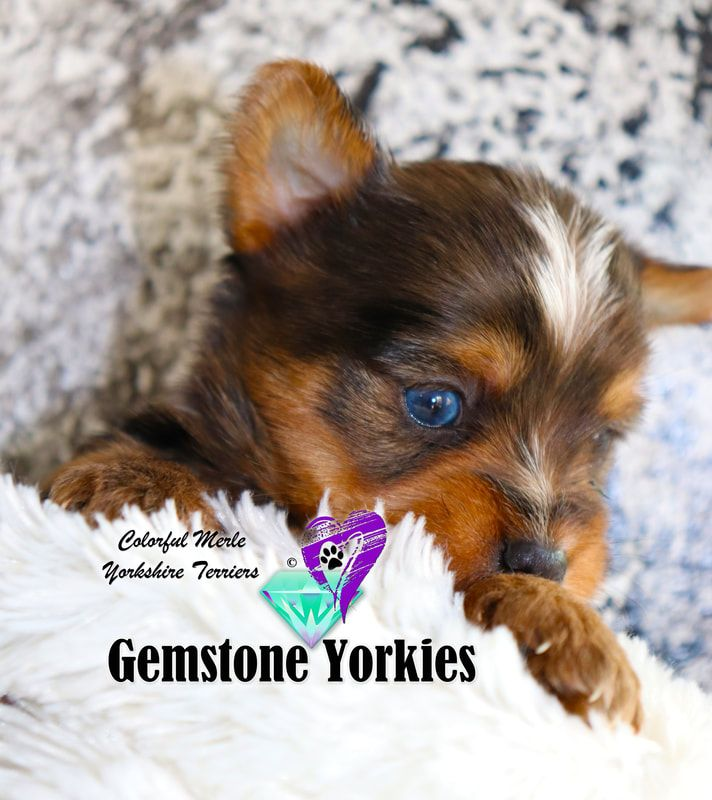 Pin On Blue Eyed Yorkie Puppies