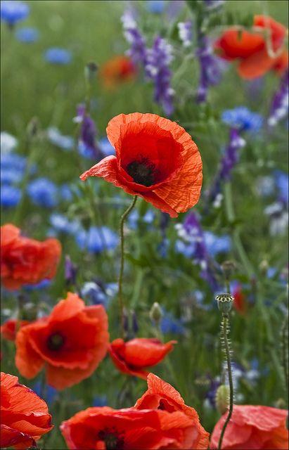 Wild poppy, Germany - my favourite flower