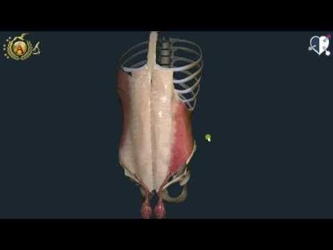 anatomia degli addominali