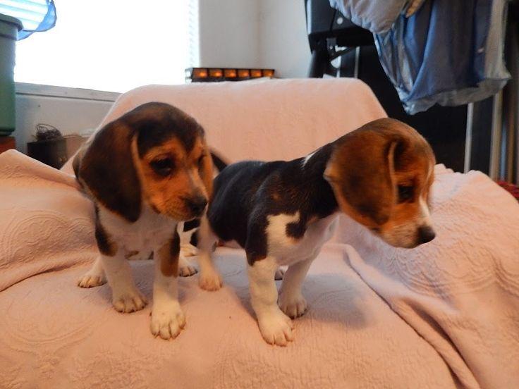 Beagle Puppies LOL Tiny Playing AKC Puppy Miniature Mini Beagles Playful...