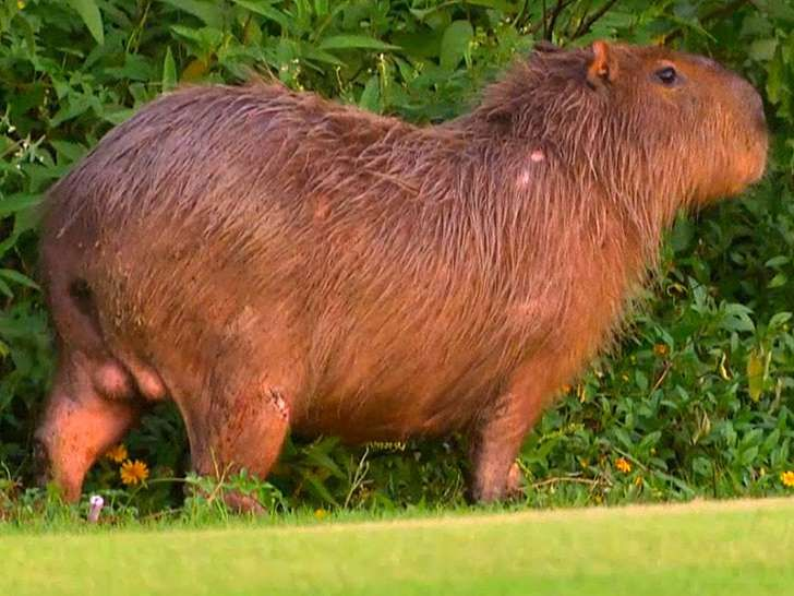 Rio's Olympic Golf Course Overrun with Capybaras and Crocodiles Days Ahead of Summer Games