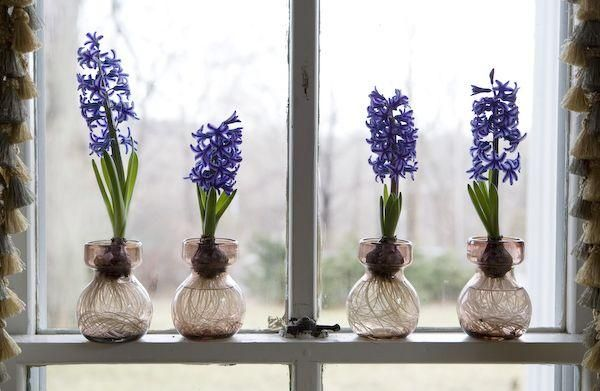 Forcing Indoor Bulbs Start in early October for February blooms.