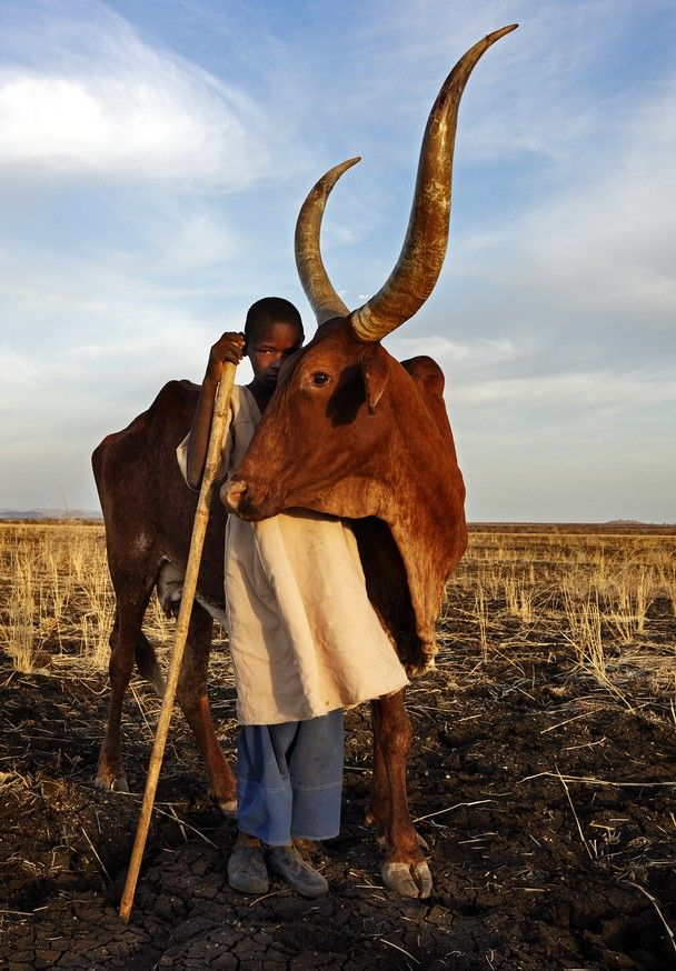 South of the city Ed Damazin, Sudan. A young boy herds cattle in the early morning light. The connection between him and this cow is quite unusual. They appear to be very close friends.