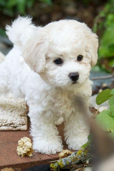 Brichon frisé puppy, by Joey Progeny, Katherine Dillon & Lisa Des Camps.