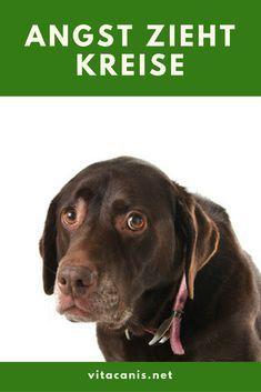 Angst hat viele Gesichter und ist nicht nur auf das offensichtliche Angstverhalten des Hundes zu beschränken. Viele Hunde leiden unter Angstverhalten. Doch leider wird dagegen oft nichts unternommen, weil es für den Menschen nicht so problematisch ist wie beispielsweise Aggressionsverhalten.