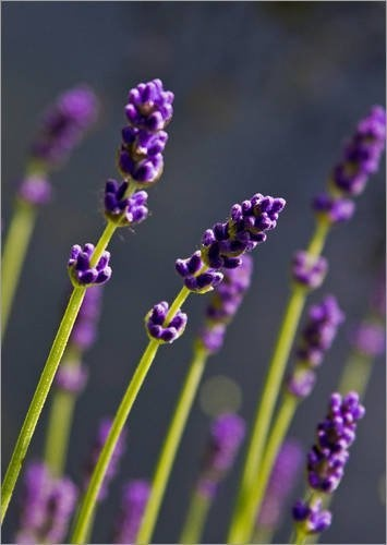 """Leinwandbild 60 x 80 cm - """"Lavendel"""" von Andrea Fettweis - auch in anderen Größen und als Poster erhältlich von POSTERLOUNGE, http://www.amazon.de/dp/B008AG429G/ref=cm_sw_r_pi_dp_Ax9Oqb1B8M7FP"""