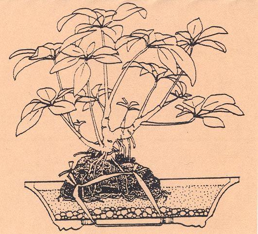 188 besten bonsai gestaltung pflege bilder auf pinterest bonsai g rtnern und pflanzen. Black Bedroom Furniture Sets. Home Design Ideas