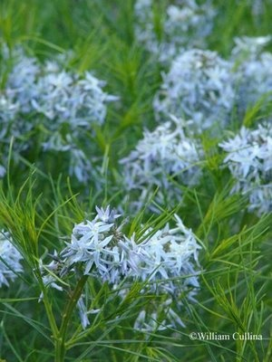 Amsonia plant type herbaceous perennial family for Low maintenance perennials zone 4