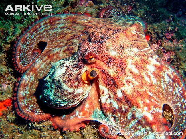 Octopus vulgaris. Mediterranean birthday party next year, Mediterranean octopus species piñata? Makes complete sense.