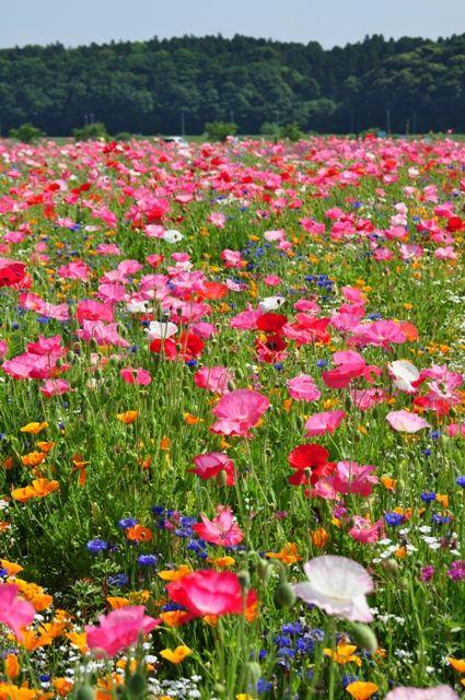 佐倉ラベンダー―ランド隣のお花畑