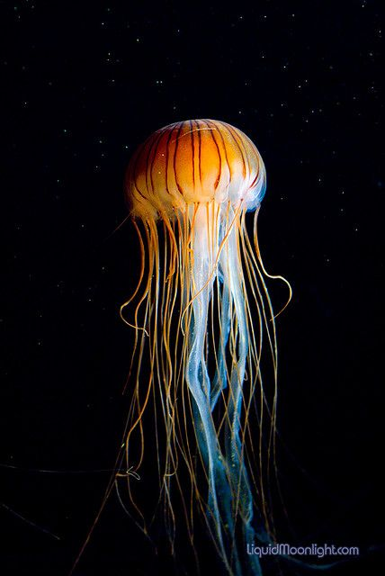 Monterey Bay Aquarium - Red Jellyfish