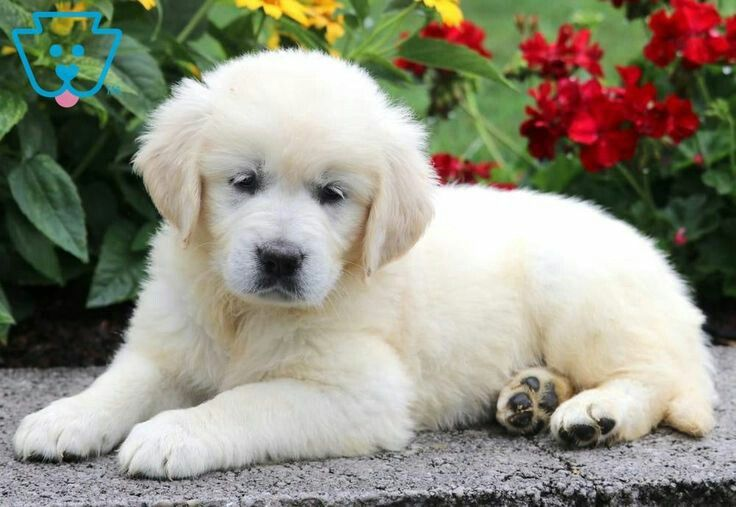 Pin By 𝐠𝐚𝐛𝐫𝐢𝐞𝐥𝐞 On Dogs English Golden Retriever Puppy Golden Retriever Puppies