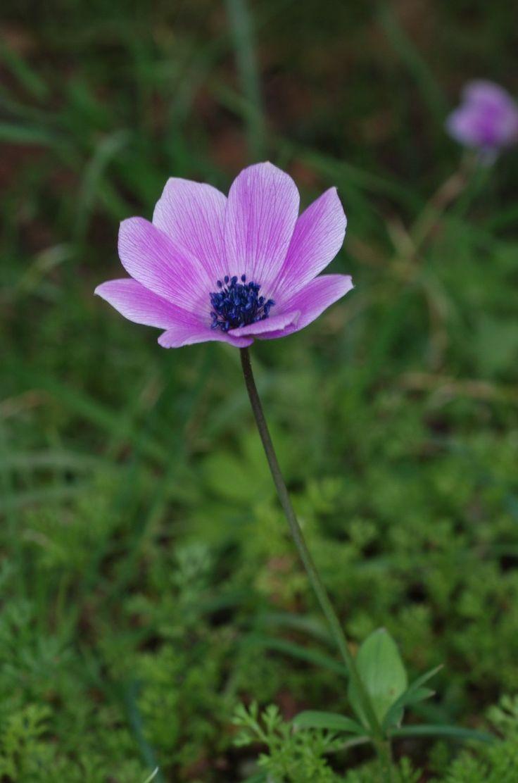 Ανεμώνη (Anemone pavonina)