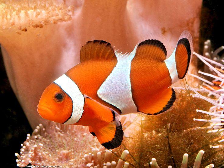 Définition illustrée de poisson-clown