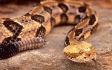 Timber rattlesnake, among Norty America's signature genus of venomous pit vipers. Learn3 sure fire tips for IDing a viper here.
