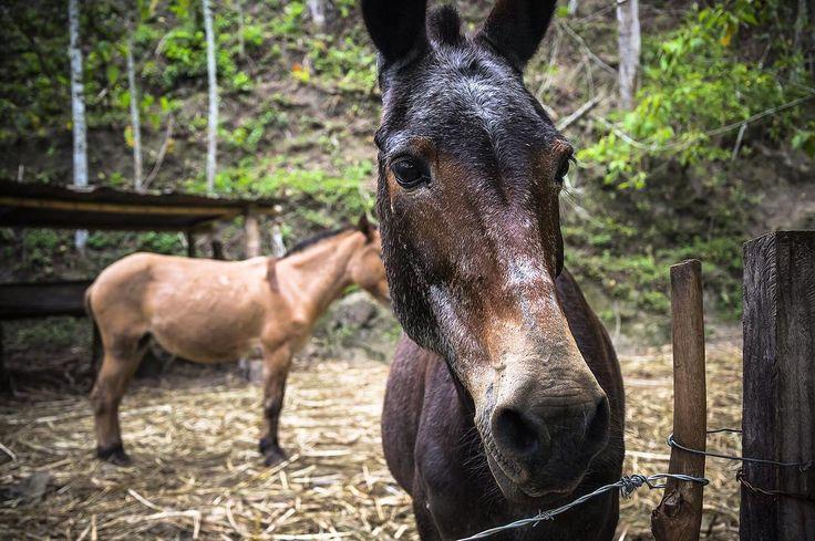 La Virgen de Quipile, Colombia  Ph: Daniela Rojas Vizcaíno @nani_rouge / Tejiendo Memoria  Utilizan mulas para transportar las cargas de la caña, llevarlas a los trapiches y distribuir luego los diferentes productos.  #TejiendoMemoria #HistoriasDeMiAldea #everydaylatinamerica #lavirgendequipile #colombia #campo #animals #mula #transporte #trabajo #travel #2016