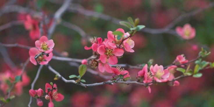 Le Cognassier du Japon ou Chaenomeles japonica est un bel arbuste à floraison précoce au printemps. Découvrez nos conseils pour bien le planter, le tailler, l\'entretenir mais aussi l\'associer au jardin.