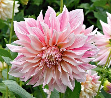 Dahlia Cafe au Lait. This subtle coloring of mocha with pink tones is not what you might expect in a large 6-10in flower.