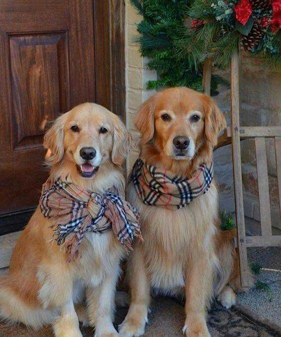 ~ PRETTY GOLDENS ~