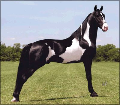 Tennessee Walker - stallion Majestic River