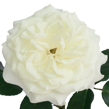 fiftyflowerscom true white garden roses 36 garden roses for 14999