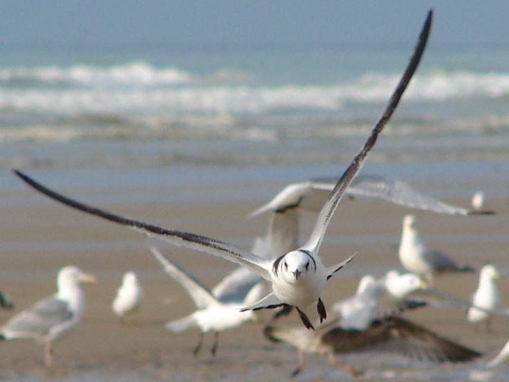 Oiseaux du bord de mer : la mouette rieuse