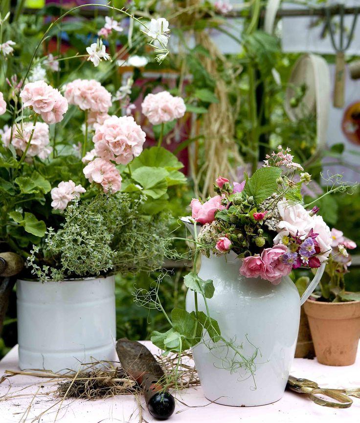 Pelargonier uundværlige, hvis du vil skabe romantik i krukker og potter. Blomsterne fås i utallige røde, rosa og hvide nuancer og blomstrer villigt hele sommeren, blot du følger nogle enkle råd.